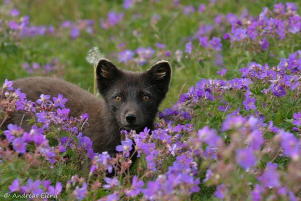 Fuchs im Storchenschnabel