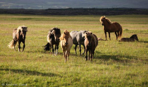 Islandpferde in Abendsonne