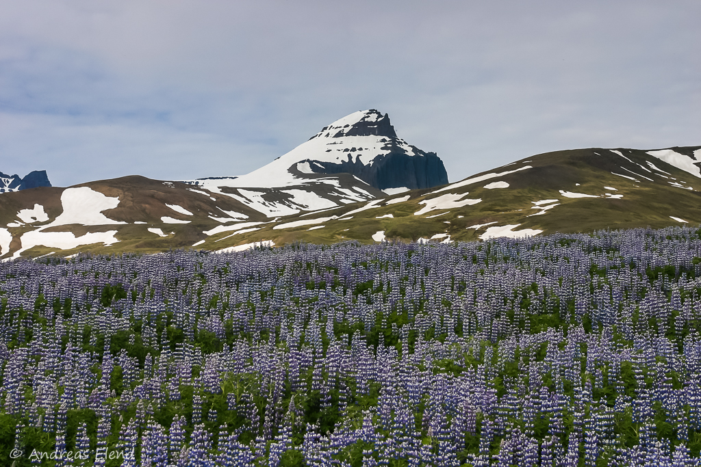 Lupinenfeld vor Türbergen