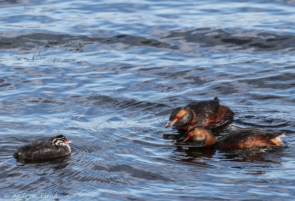 Zwergsäger-Familie auf Myvatn