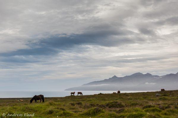 Pferde bei Siglufjördur