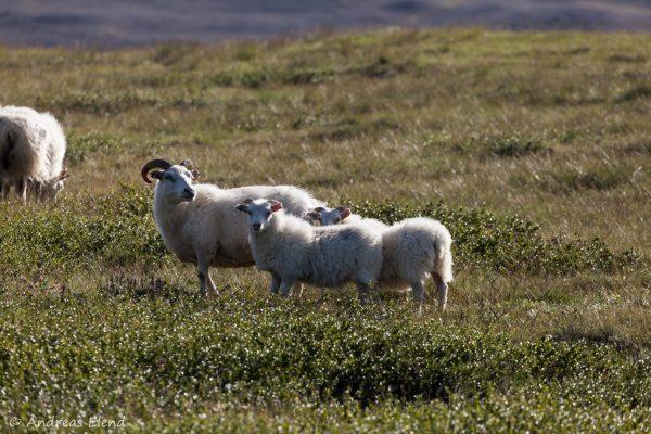 Schafsfamilie