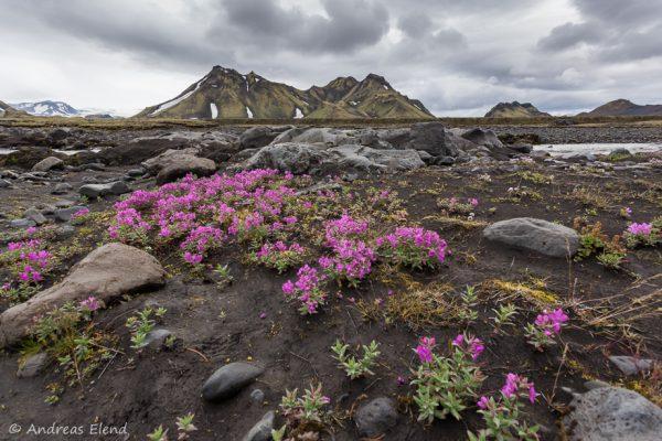 Arktisches Weidenröschen auf Laugavegur
